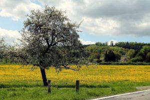 Westerwald Löwenzahn